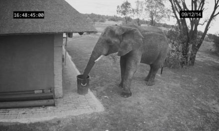 Responsible Elephant Caught On Security Camera Disposing Of Trash In Garbage Can