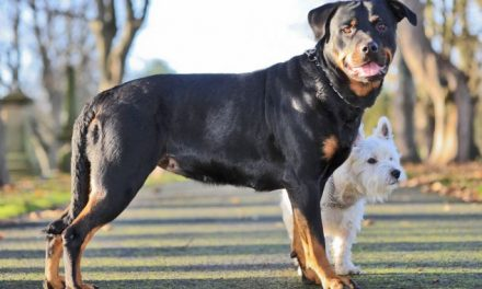 This Little Terrier Got That Rottweiler Pregnant. And You're Gonna Want To See Their Puppies, Trust Me.