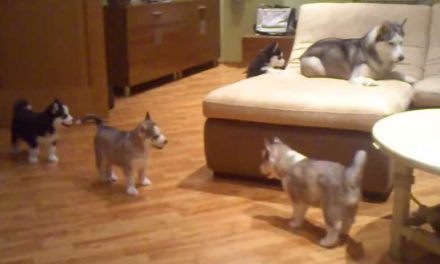 This Mom Husky Knows How To Keep Her Little Pups (And Us) Entertained For Hours