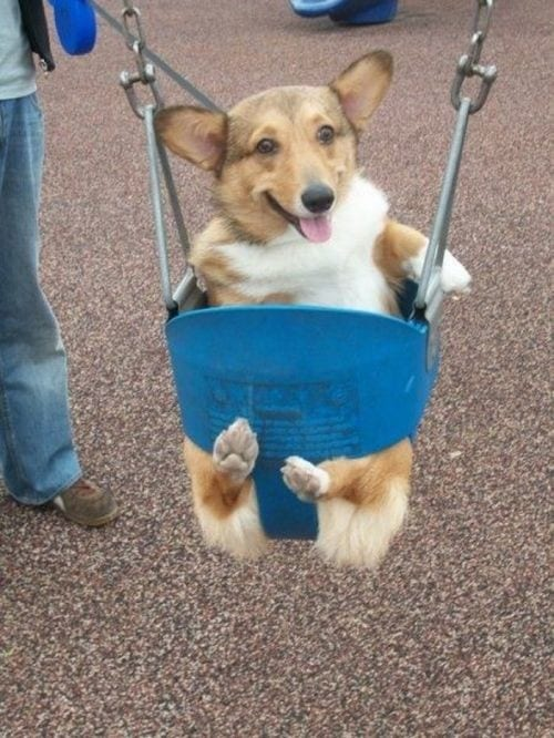 Corgi. In. A. Swing!