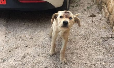 Puppy In Lebanon Shot In The Head Multiple Times But He Refused To Give Up