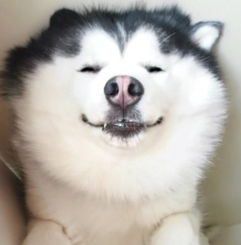 Meet Maru, The Smiling Siberian Husky Who Will Put A Smile To Your Face