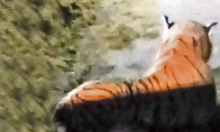 Hilarious Moment When Farmer Saw A Stuffed Toy And Thought There Was A Real Tiger In His Farm