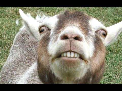 Top 10 Funny Goat Videos – Funniest Goats [BEST OF]