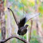 Lyrebird Bird Also Known As A Copycat Bird In The World